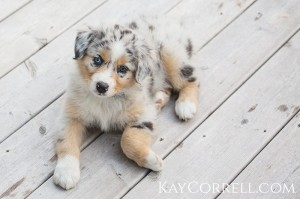 adorable Australian Shepherd puppy